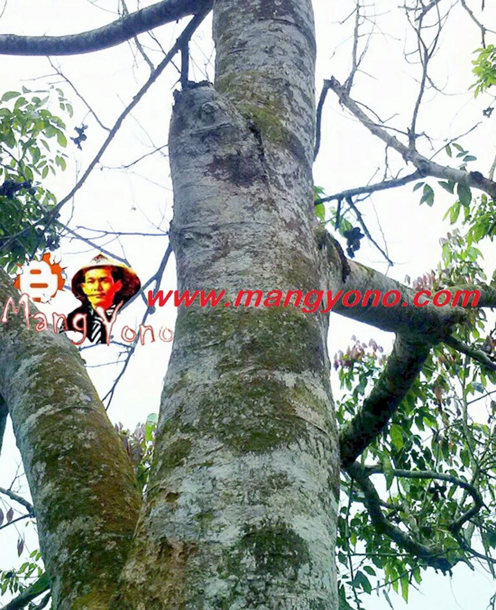 Inilah penampakan pohon jengkol di kebun mertua