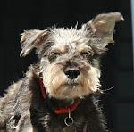 Schnauzer Paws Rescue