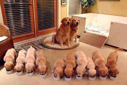 potty training golden retriever puppies, training golden retriever puppies not to bite,  training golden retriever puppies videos,  training golden retriever puppies youtube