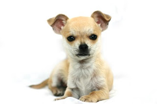 beautiful brown and white Chihuahua dog breed photo