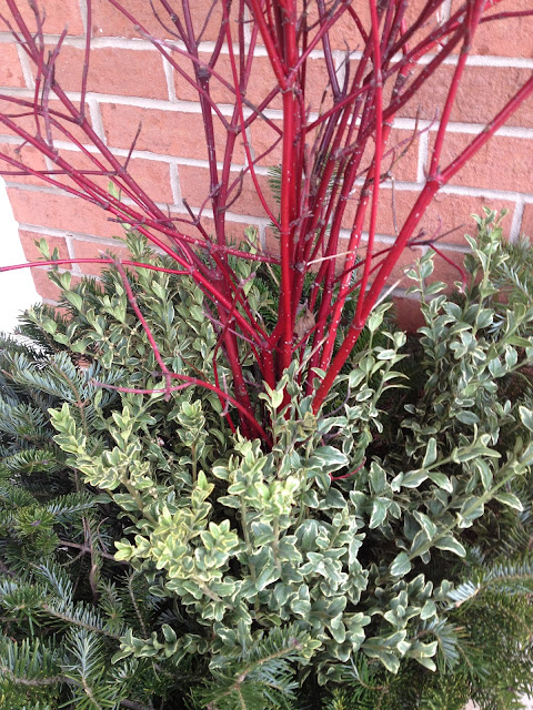 Variegated boxwood in winter container -- The Impatient Gardener