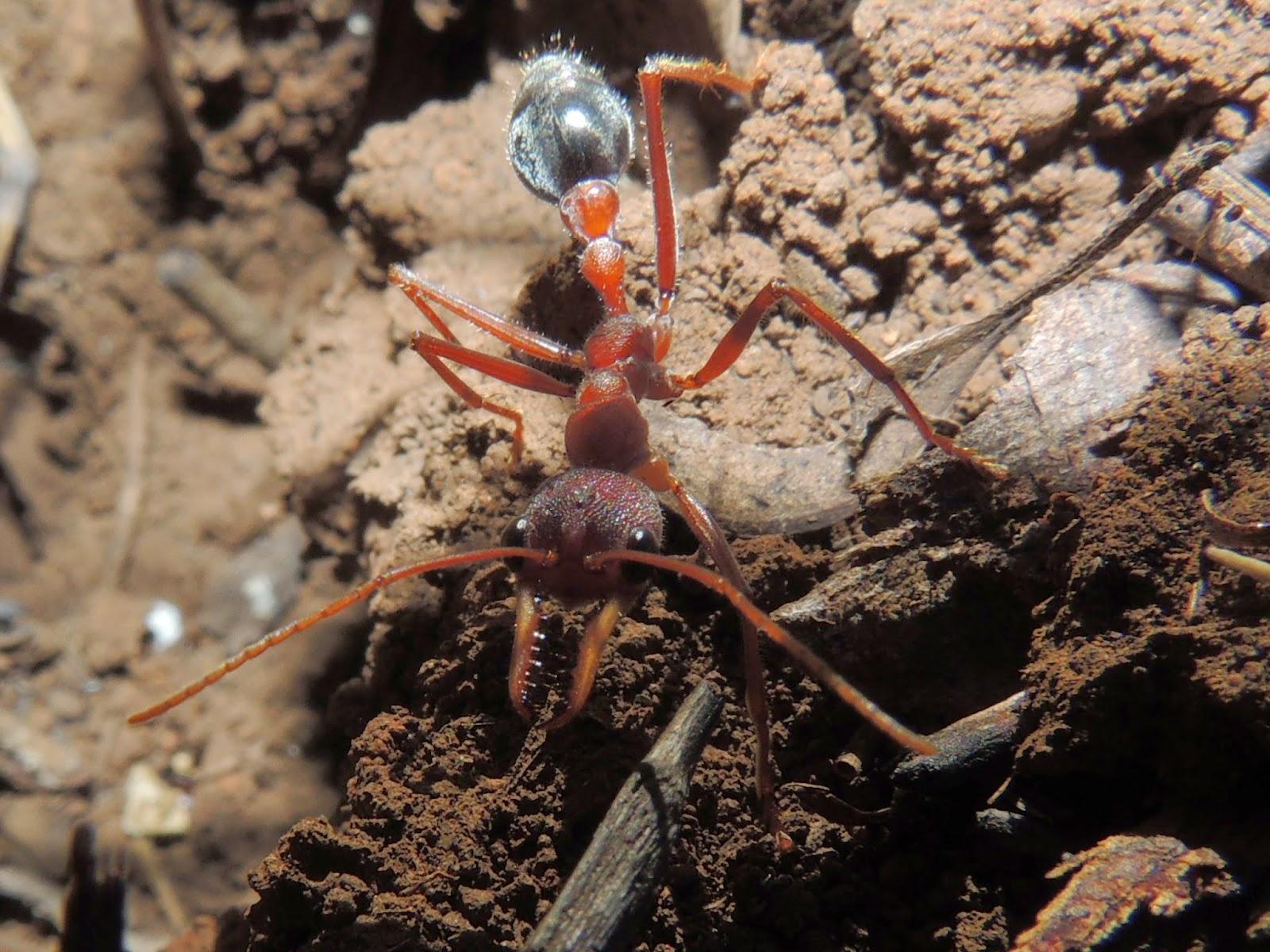 species of ants in australia pdf