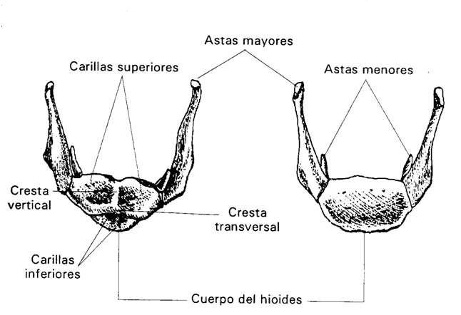 MORFOFISIOLOGIA I: CUELLO