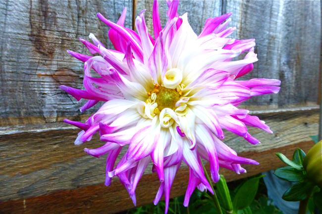 dahlia, Dutch Explosion, Dutch Explosion dahlia, pink white dahlia, white pink dahlia, garden