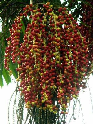 http://4.bp.blogspot.com/-1lr0bm8katY/T3QfHApqKqI/AAAAAAAAARs/9cXeaAQrZPI/s1600/pohon_pinang_merah.jpg