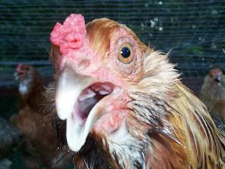 meyembuhkan ayam ngorok