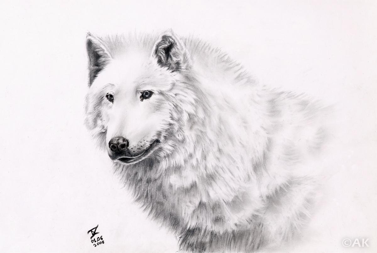Corvisalex loup blanc - Un loup dessin ...