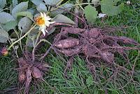 Dug dahlia tubers