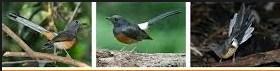 Trik Cara Ampuh Membedakan Jantan Dan Betina Burung Murey Batu