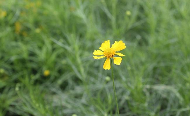 Helenium Amarum Flowers