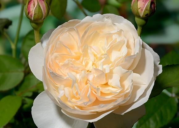 Lichfield Angel rose сорт розы фото