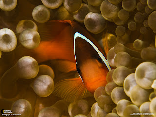 Clown fish Wallpapers