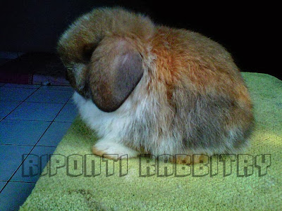 standard holland lop