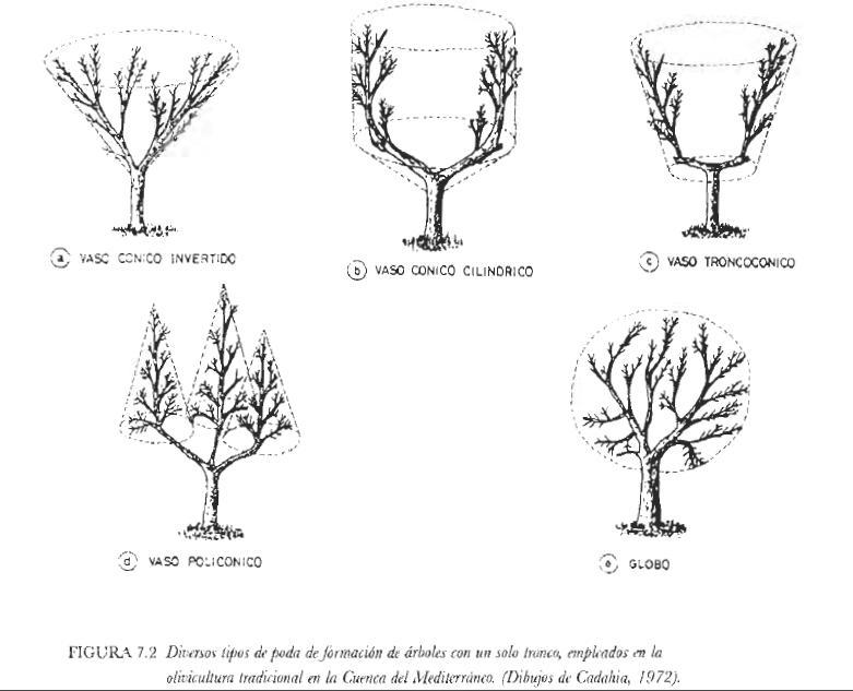 Espacio agroecol gico de la subb tica poda de formaci n - Poda del cerezo joven ...