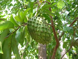 Manfaat buah sirsak dan daun sirsak