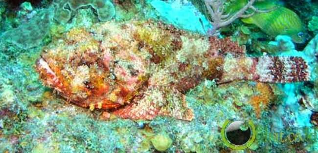 Ikan Kalajengking Totol (Scorpaena plumieri)
