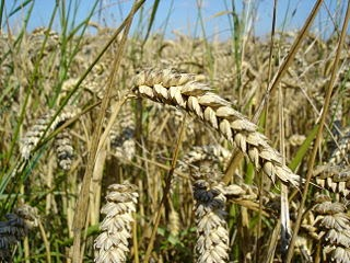 Wheat close up, image from Wikipedia