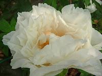 白い牡丹。