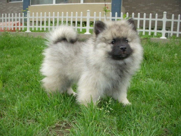Keeshond Rescue Puppy Caring In...