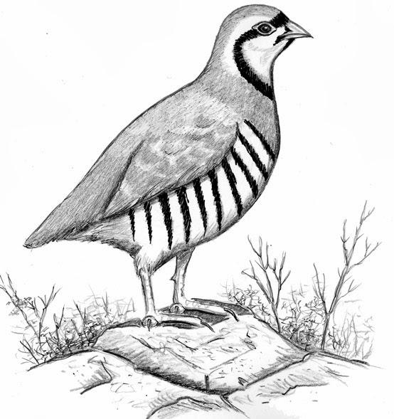Chukar National Bird of Pakistan Worksheet Guide
