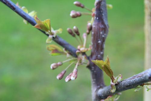 Kirsikkapuu Suomessa