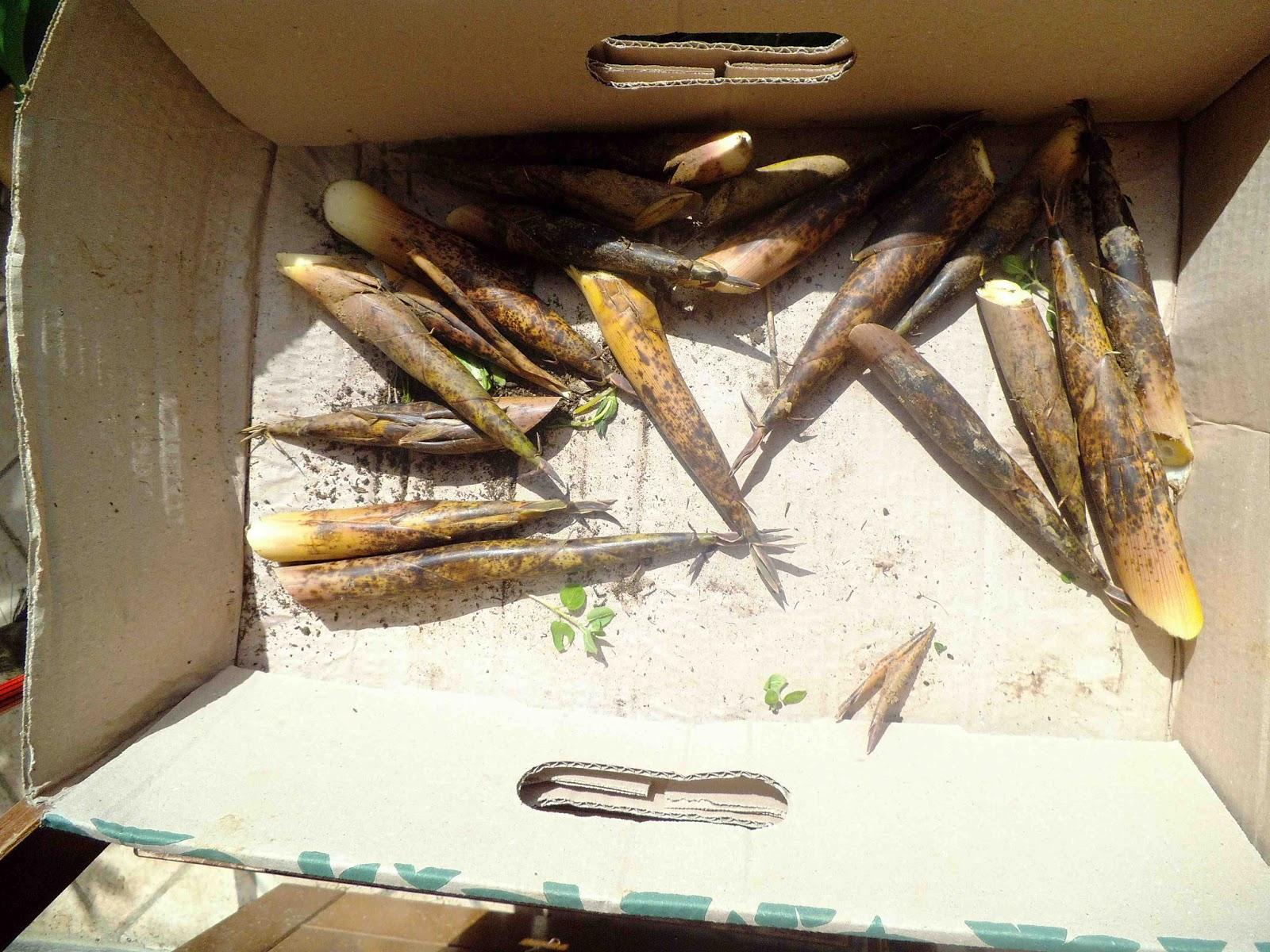 Ortoinsorto semi digitali germogli di bambu 39 for Semi di bambu