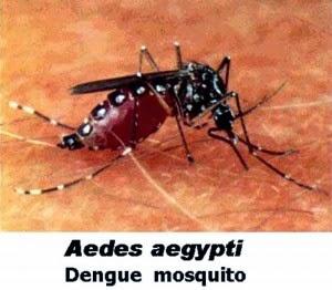 foto nyamuk demam berdarah - gambar hewan
