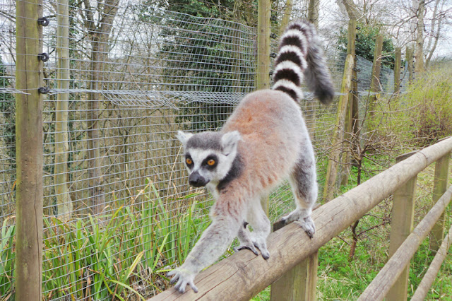 Dudley Zoo and Castle Lemurs