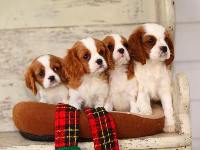 Cute Dog Names For King Charles Cavalier