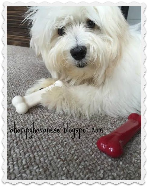 Wordless Wednesday A Happy Havanese Blog