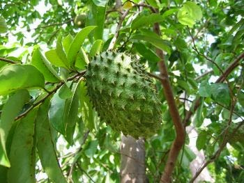 Medicinal Benefits of Soursop fruit