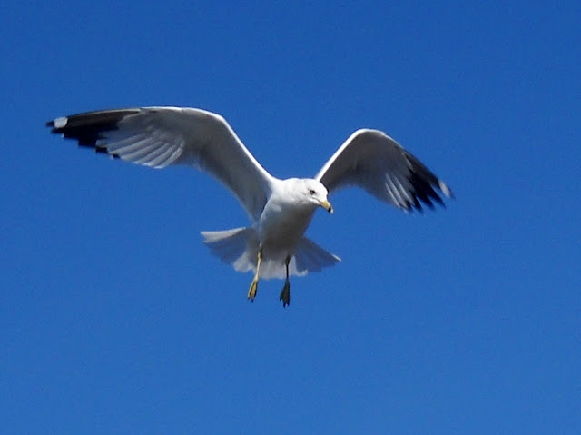A Ring-billed gull in flight flying across Sunset Bay, White Rock Lake, Dallas, Texas