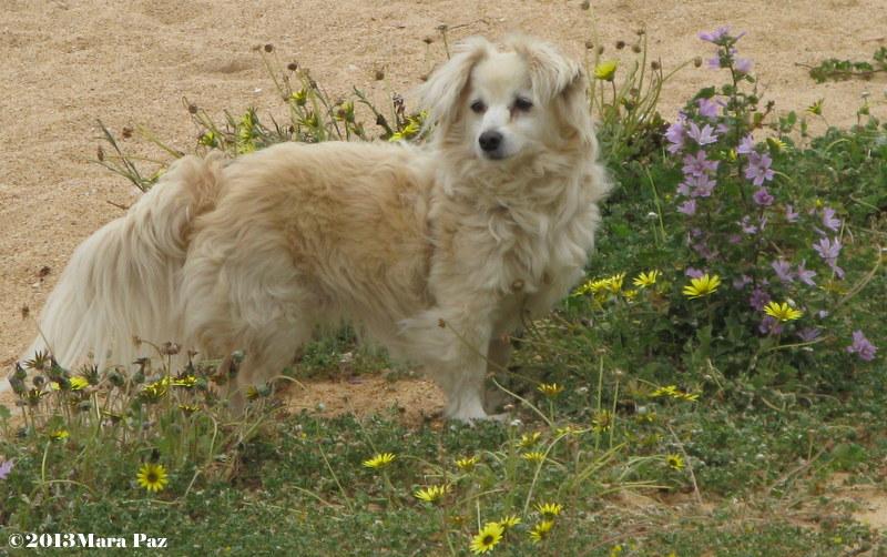 Dog at Quarteira beach, Algarve
