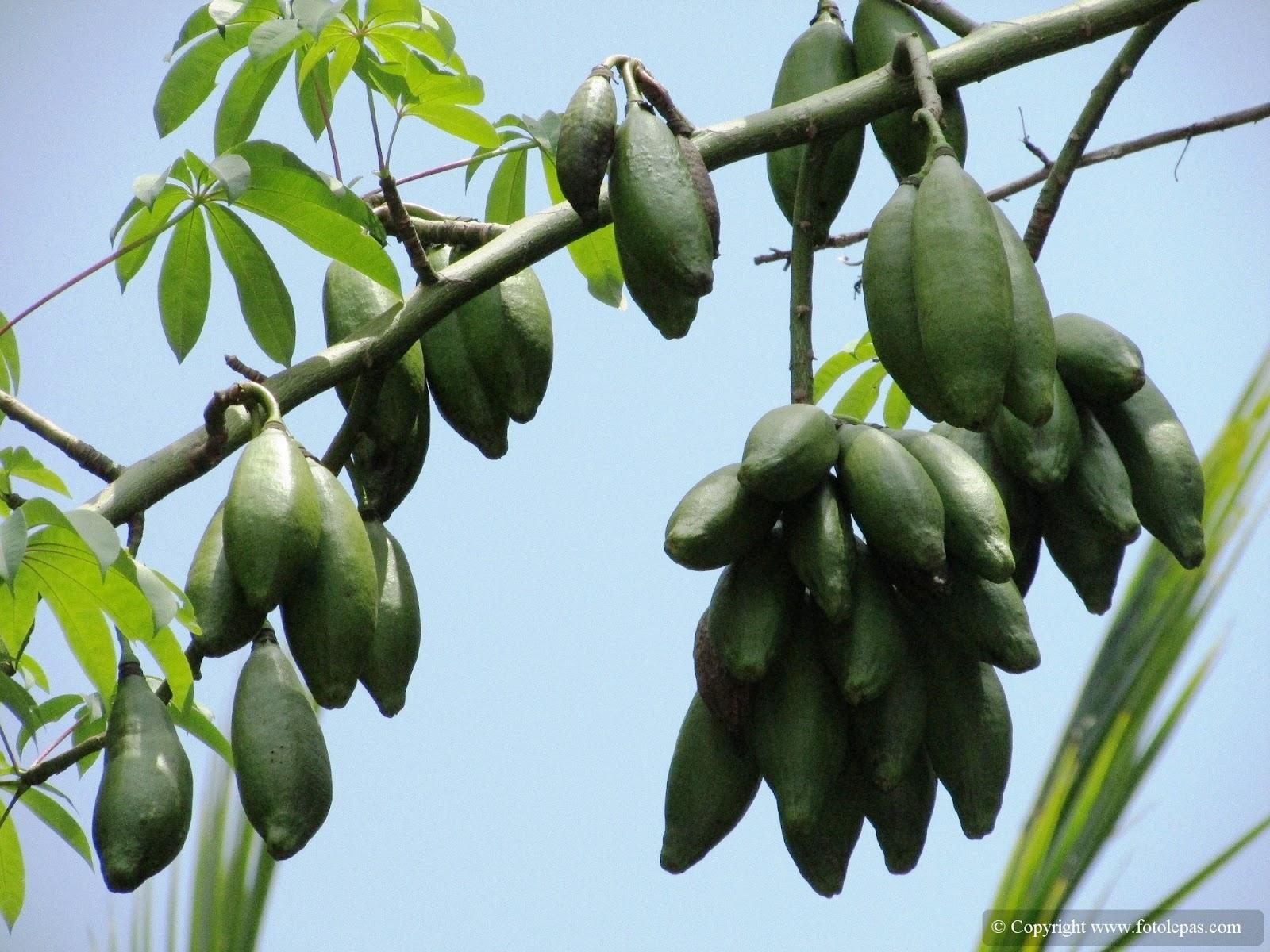buah kapuk randu