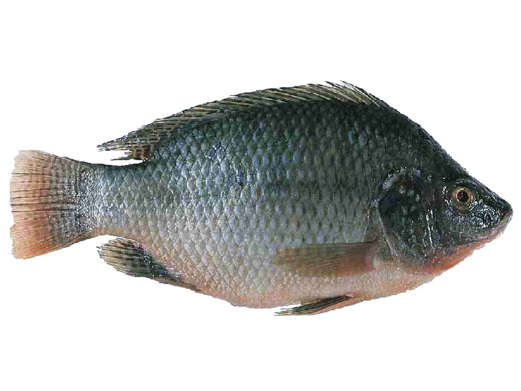 Meen valarthal fish farming tilapia for Tilapia not real fish