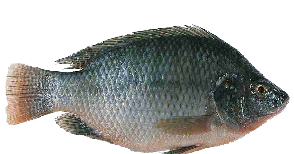 Meen valarthal fish farming tilapia for Is tilapia a man made fish