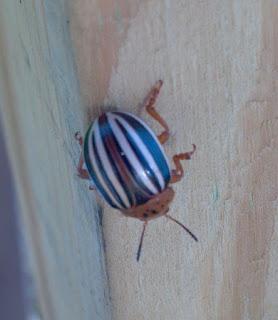 false colorado potato beetle crawling