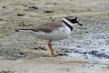 Common Ring Plover_2011