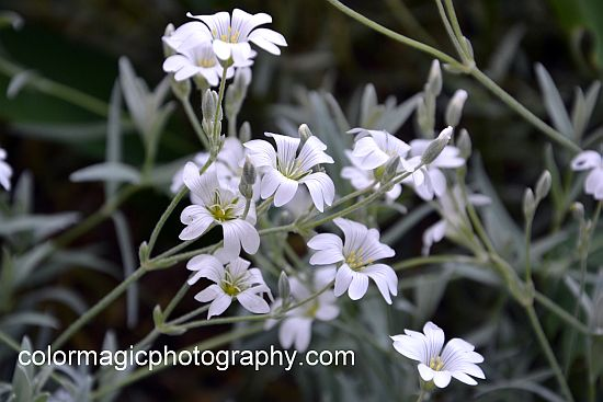 Snow-in-Summer flowers and silver foliage