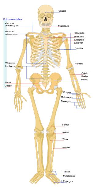 Sistema Óseo | Ciencias Naturales