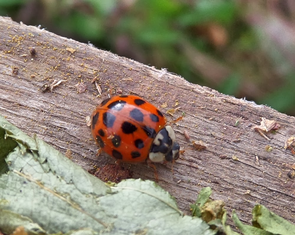 Invasive Harlequin ladybird France
