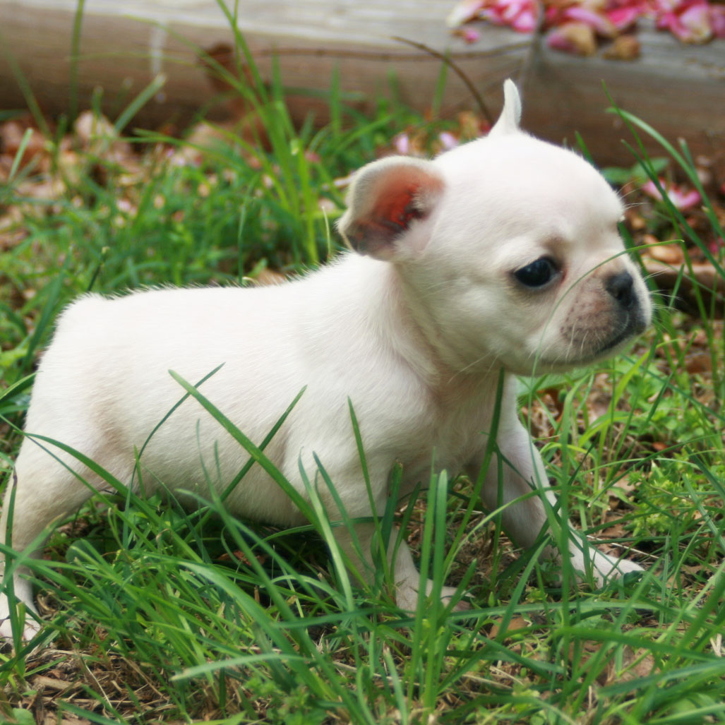 French bulldog puppies - photo#3