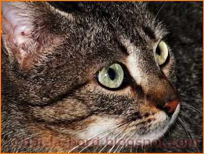 pisica vazuta de aproape baile herculane
