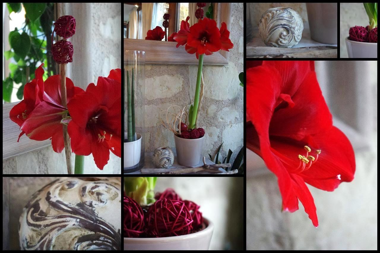 Le jardin des couronnes amaryllis for Amaryllis pour noel