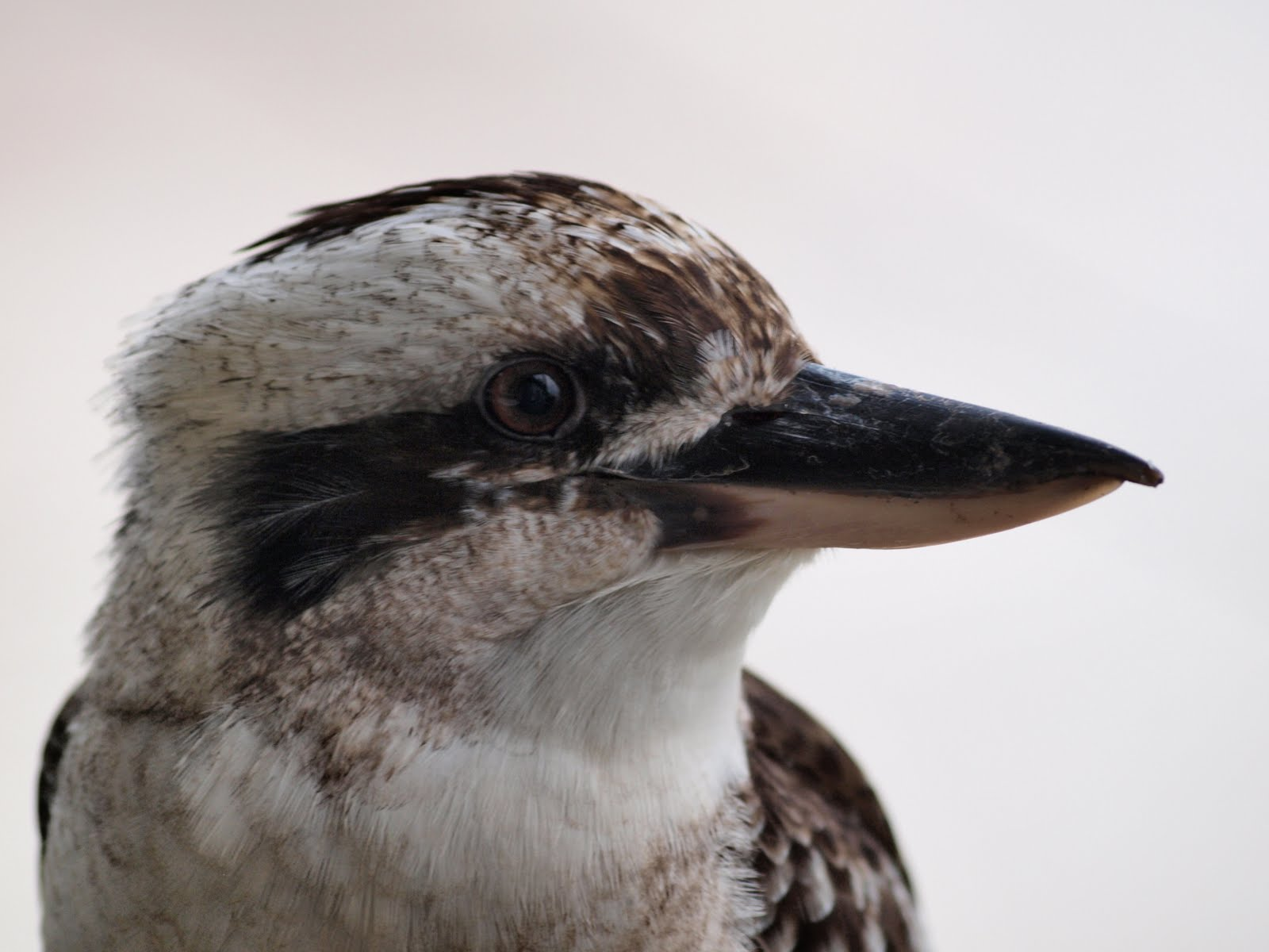 Kookaburra sits in the old gum tree. Merry, merry king of the bush is he