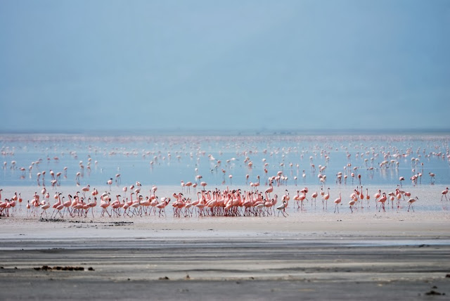 Flamingos Manyara Lake