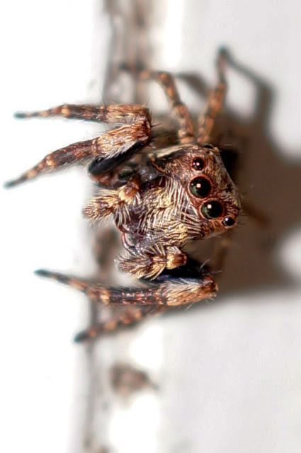 Close up of a House Jumping Spider Zoomed 100% and Cropped