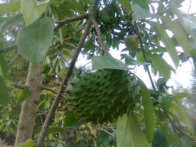 Pohon Sirsak - Nangka Sabrang