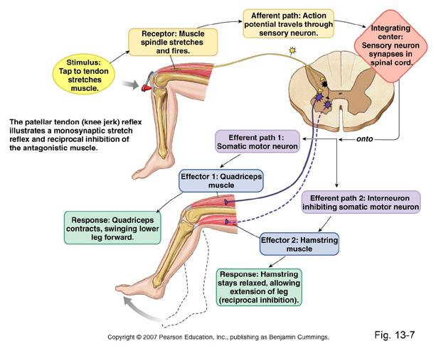 Neuro unit 2 somatosensory system flashcards quizlet ccuart Choice Image