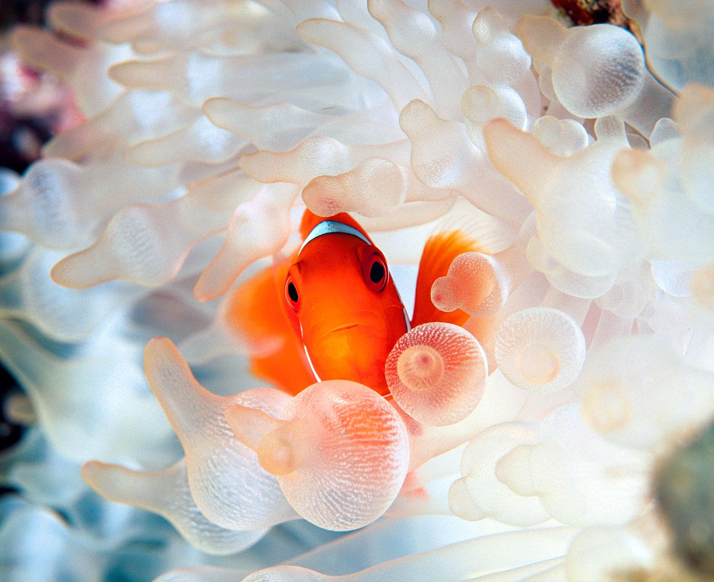 David doubilet deep sea photographer martinlutherkingjr for A clown fish